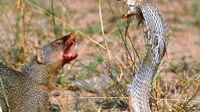 Mongoose Takes On A Co...
