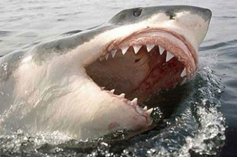 Image Gallery shark bites